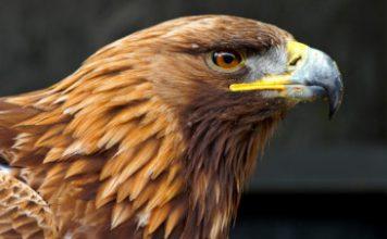 Đại bàng vàng cuối cùng ở Wales chết